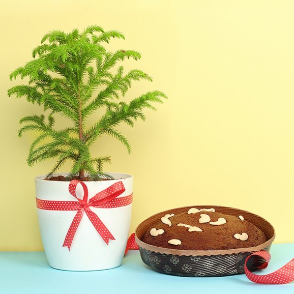 Araucaria Plant with Plum Cake Christmas Gift Combo