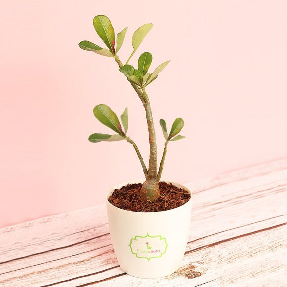 Desert Rose In Signature Pot