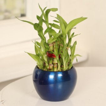 2 Layer Lucky Bamboo in Blue Vase