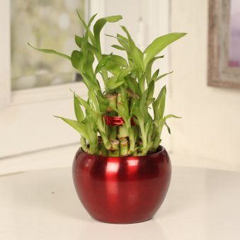 2 Layer Lucky Bamboo in Maroon Vase