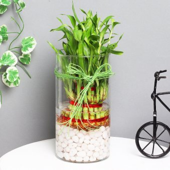 3 Layer Lucky Bamboo Terrarium