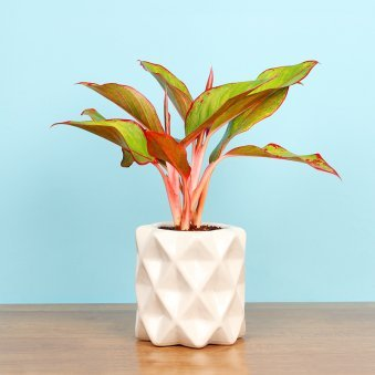 Aglaonema Lady