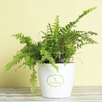 Boston Fern Plant