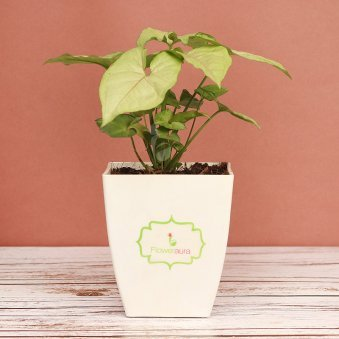 Chatura Potted Syngonium