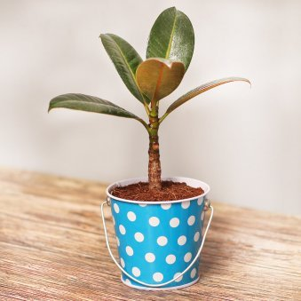 Dwarf Rubber Plant in Polka Bucket Metallic Vase