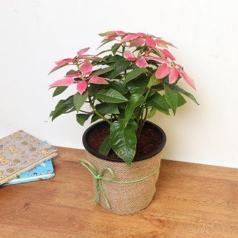 Poinsettia Plant in Jute Packing