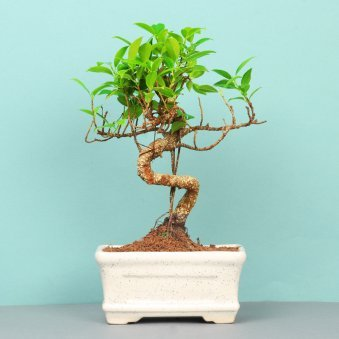 Ficus S Shape Bonsai Plant