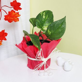 Money Plant in Red Gift Wrap
