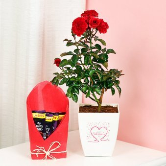 Rose Plant with Chocolates Combo
