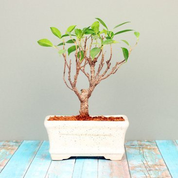 Ficus I Shape Bonsai